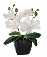 Valge orhidee potis 2 oksaga