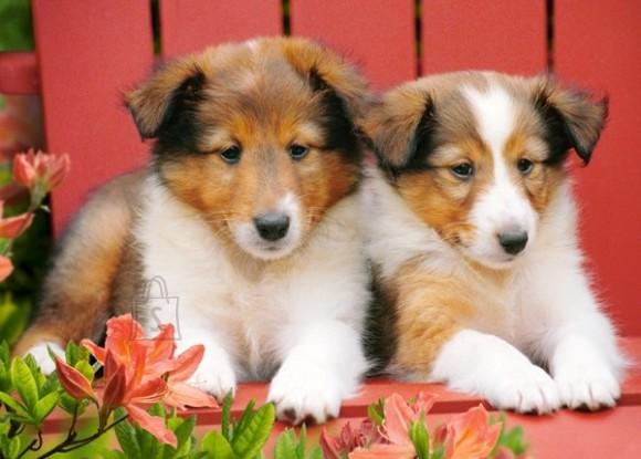 Castorland 007141. Puzzle 70 Collie Pups