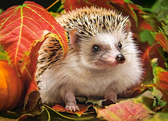 Castorland 18338. Puzzle 180 Hedgehog in Autumn Leaves