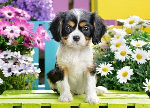 Castorland 070053. Puzzle 70 Spaniel Puppy in Flowers