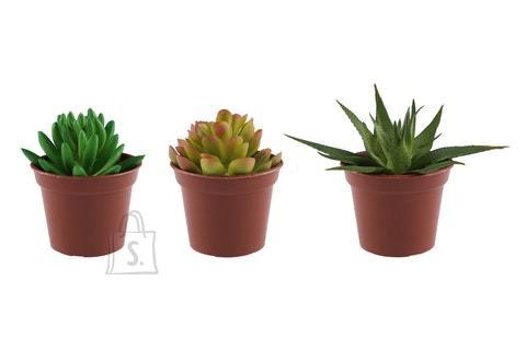 Tammer Kaktus potis 7,5cm 3 erinevat