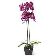 Roosa orhidee 2 topelt oksaga, H78cm