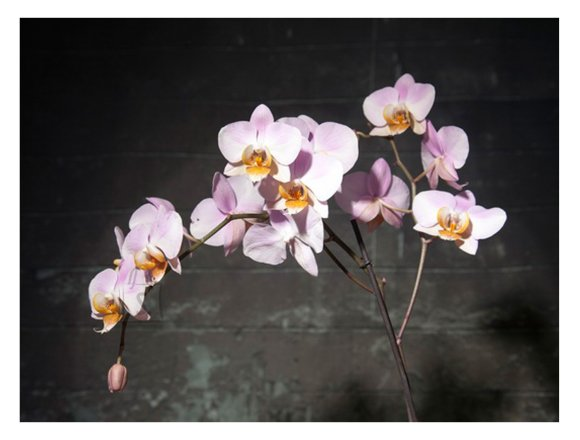 """Trükipilt Nature """"Roosa orhidee"""""""