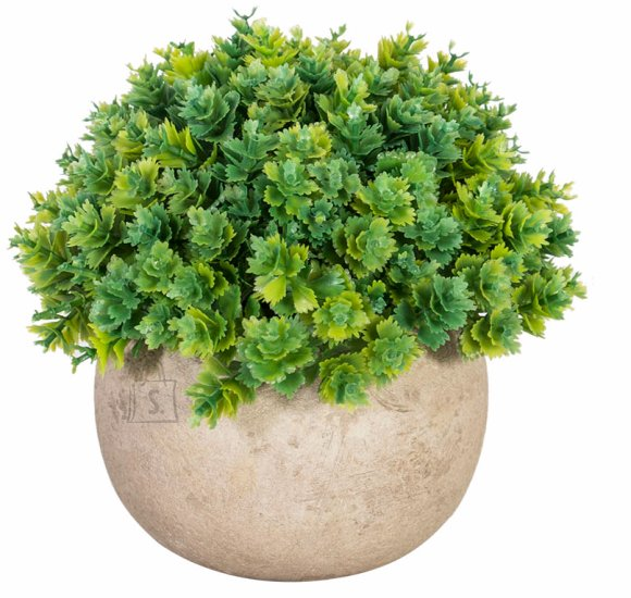 Roheline väike põõsas Buxus 13 cm